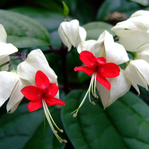 Bleeding Heart Vine White - Creepers & Climbers - Exotic Flora