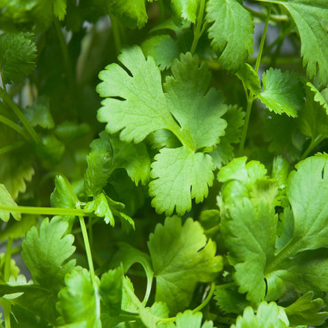 Coriander-Vegetable Seeds - Exotic Flora