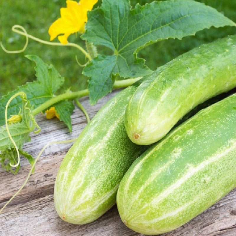 Cucumber NS 404-Vegetable Seeds