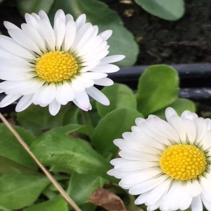 Daisy- Bellis Perennis - Flowering seeds - Exotic Flora