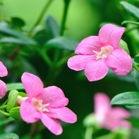 Limonia, Pink Ravenia - Flowering Shrubs