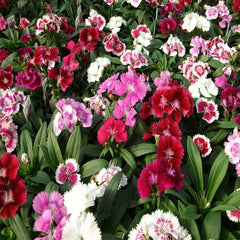 Dianthus Mix- Flower Seeds - Exotic Flora