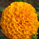 Double Orange African Marigold-Flower Seeds - Exotic Flora