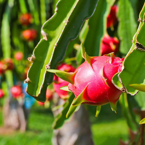 Dragon Fruit - Fruit Plants & Tree - Exotic Flora