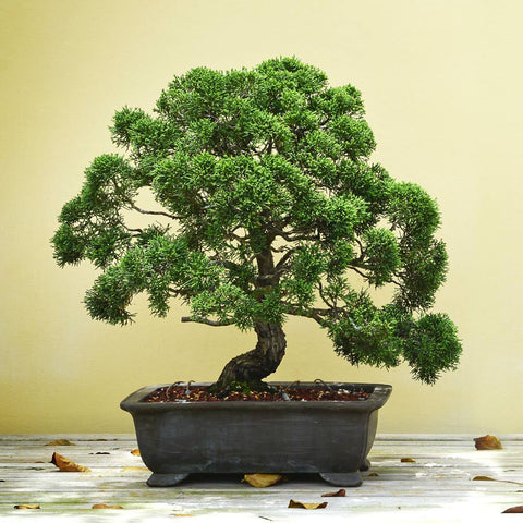 BONSAI - Exotic Flora