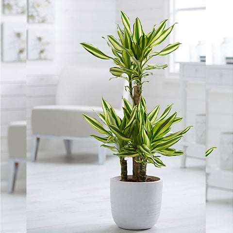 Yellow Dracaena - Indoor Plants