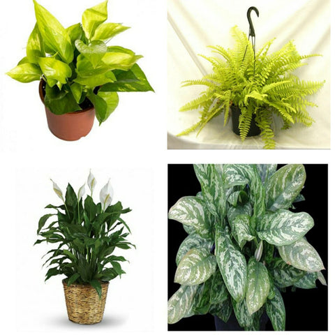 ASSORTED INDOOR PLANTS  COMBO