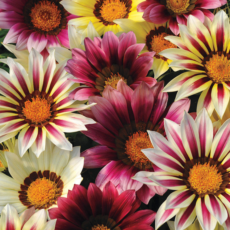 Gazania-Flower Seeds