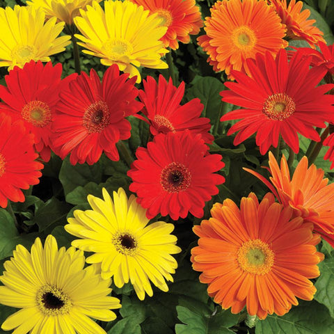 Gerbera-Flower Seeds