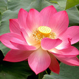 Pink Lotus - Aquatic Plants