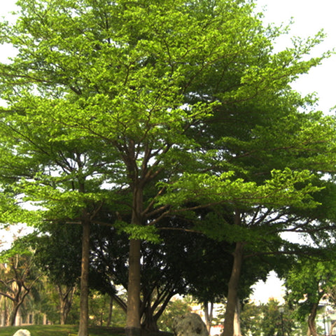 Terminalia Mini - Avenue Trees