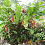 Heliconia Rostrata - Flowering Shrubs