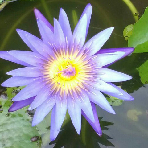 Water Lily Blue- Aquatic Plants