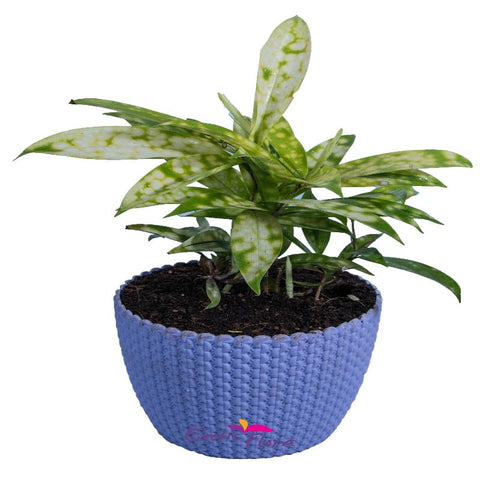 Dracenea Gold - Indoor Air purifying plants - Exotic Flora