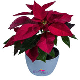 Poinsettia Red - SEASONALS