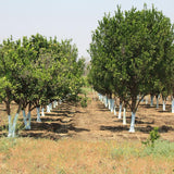 Orange Nagpur(Grafted) - Fruit Plants & Tree