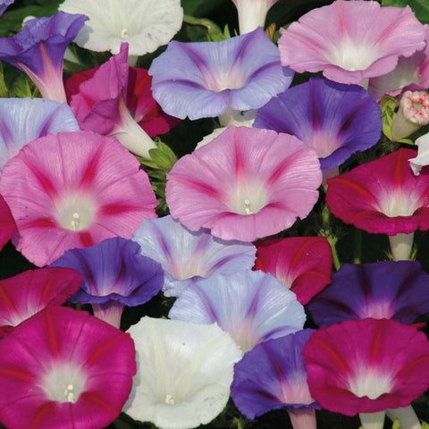 Ipomoea/Morning Glory-Flower Seeds