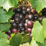 Black Grapes (Hybrid) - Fruit Plants & Tree