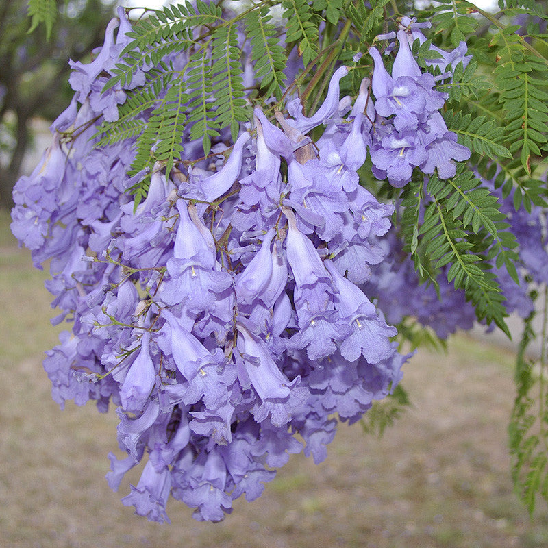 Jacaranda Tree - Big Size Plants