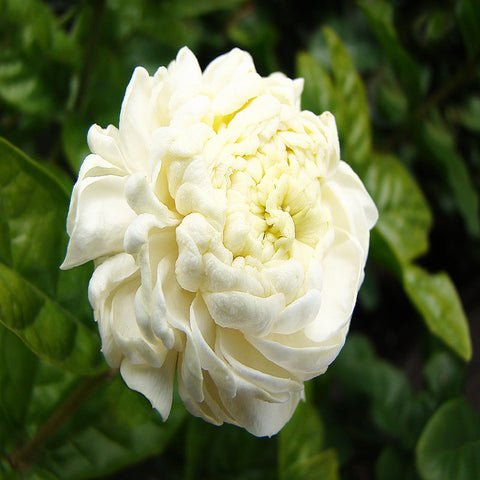 Jasmine - Flowering Shrubs