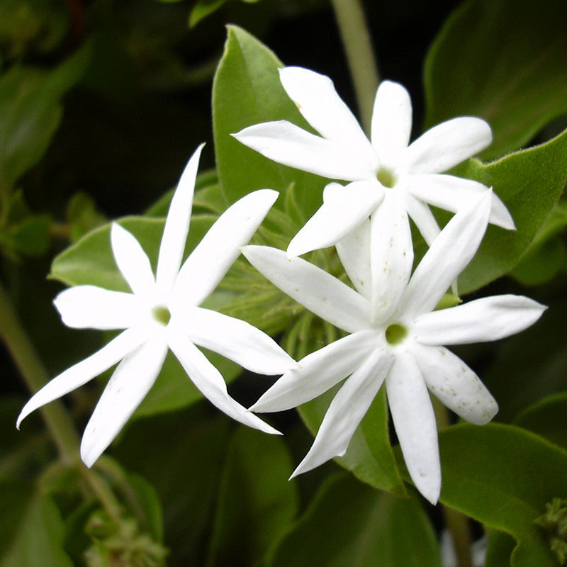 Downy Jasmine Or Kagada - Flowering Shrubs