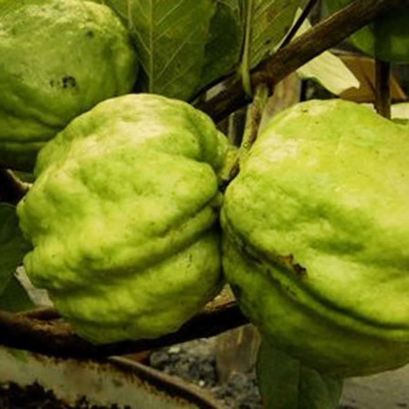 Guava Seedless(Grafted) - Fruit Plants & Tree