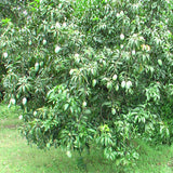 Mango Dasheri(Grafted) - Fruit Plants & Tree