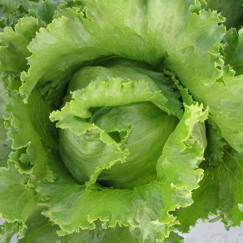 Lettuce ARYAN F1-Vegetable Seeds