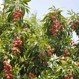 Litchi - Fruit Plants & Tree