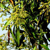 Mango Suvarnarekha(Grafted) - Fruit Plants & Tree