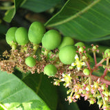 Mango Bahensha /Bangenpalli(Grafted) - Fruit Plants & Tree