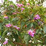 Melastoma Malabathricum - Flowering Shrubs