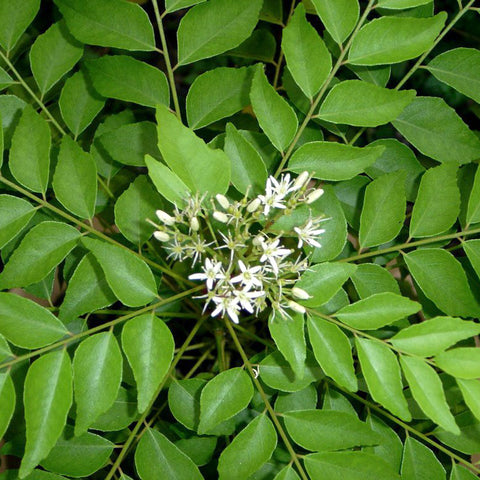 Curry Leaf plant- Fruit Plants & Tree - Exotic Flora