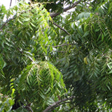 Indian neem tree - Avenue Trees