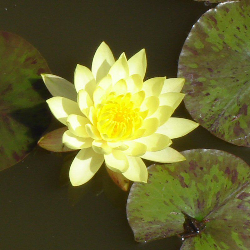 Kamal Water Lily Yellow Aquatic Plants Exotic Flora