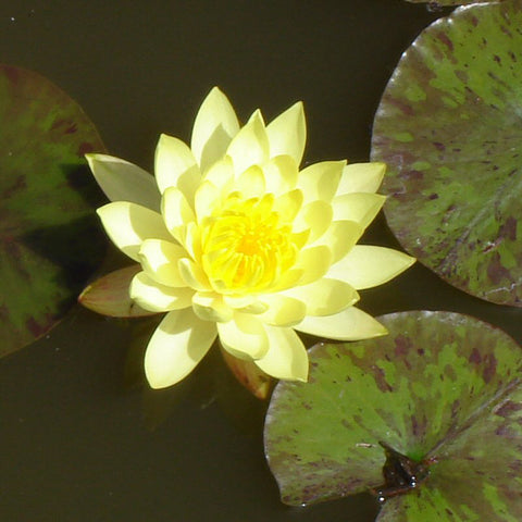 Water Lily  Yellow - Aquatic Plants