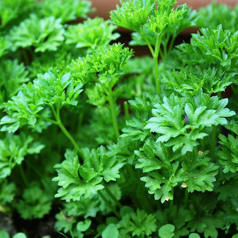 Parsley STRANGER F1-Vegetable Seeds
