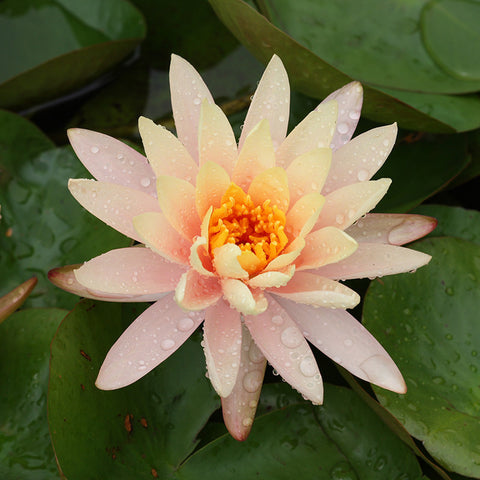 Water Lily Orange - Aquatic Plants