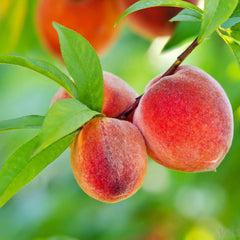 Peach (Grafted)- Fruit Plants & Tree