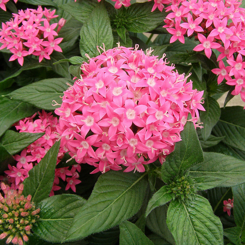Pentas pink flowering plants mightylinksfo