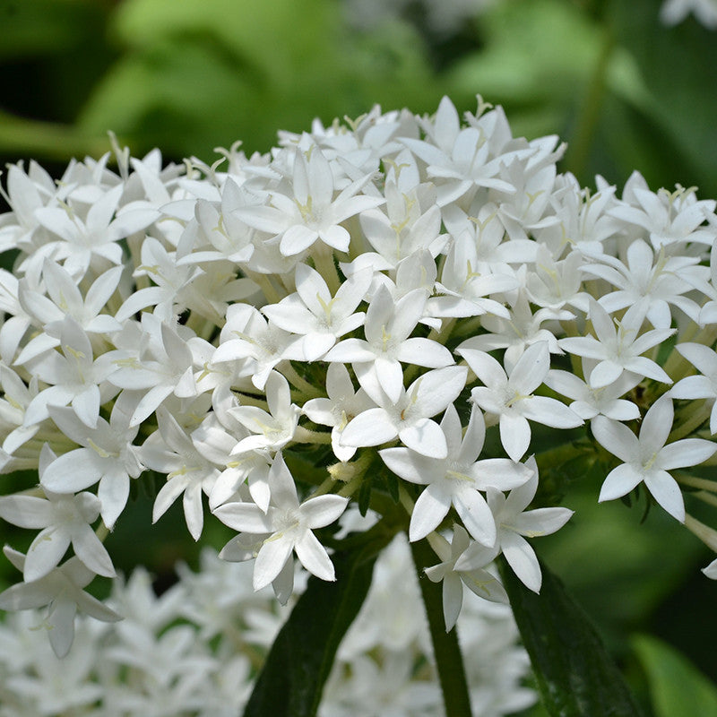 Pentas White - Flowering Plants