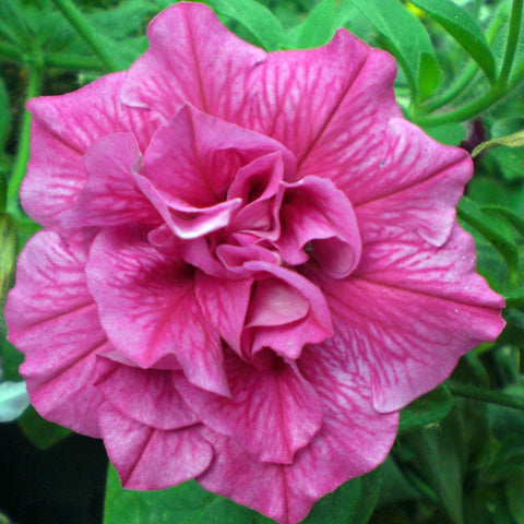 Petunia Double- Flower Seeds