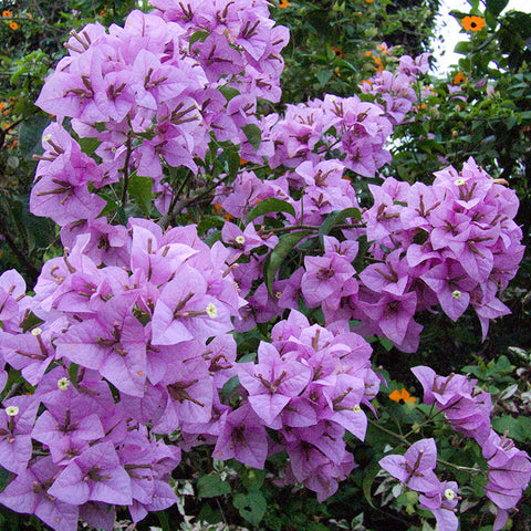 Bougainvillea H. C. Buck - Creepers & Climbers - Exotic Flora