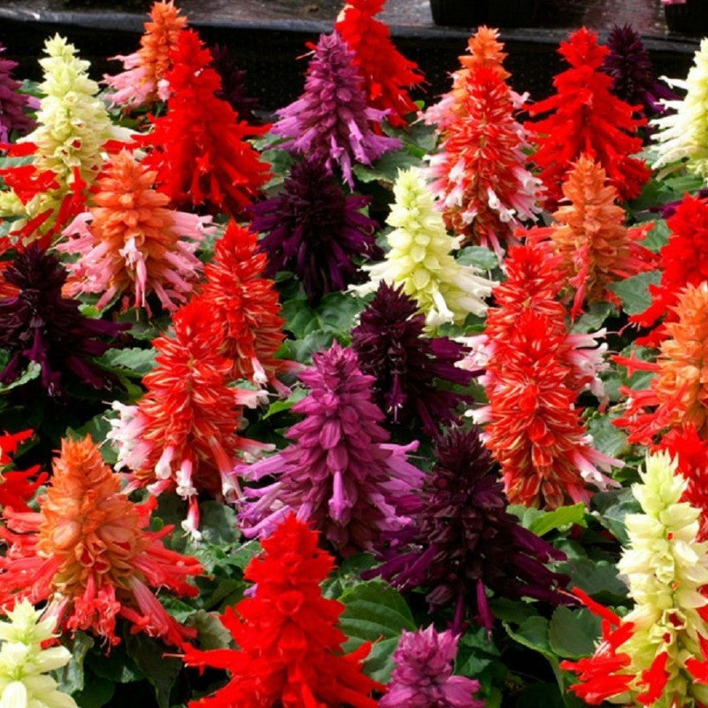 Salvia splendens- Flower Seeds