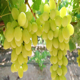 White Grapes - Fruit Plants & Tree