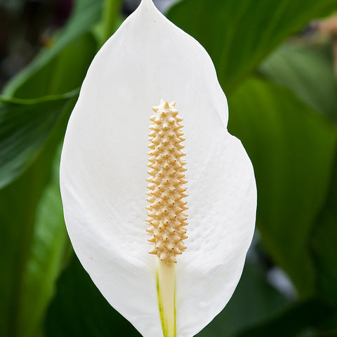 Peace Lily - Flowering Plants
