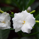 Tagar Double Frills - Flowering Shrubs