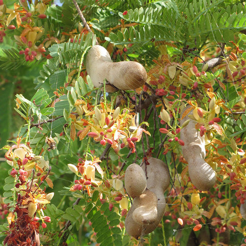 Sweet Tamarind (Grafted) - Fruit Plants & Tree
