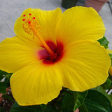 Hibiscus Yellow  - Flowering Plants