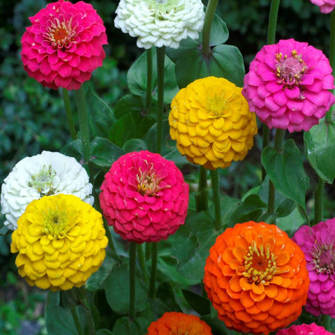 Zinnia -Flower Seeds